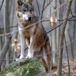 Vlk Euroasijský - zvirata