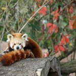 Panda červená - zvirata