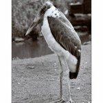 Marabu africký - zvirata