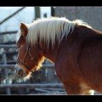 Hafling - kůň domácí - zvirata